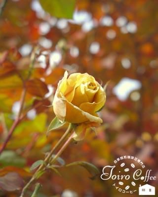 rose0810.jpg